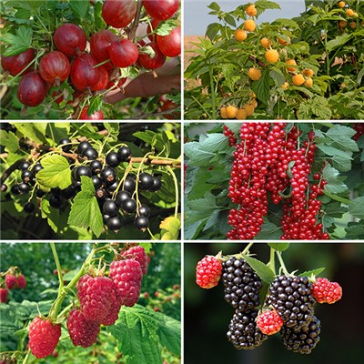 Patio Fruit Bush Garden Collection 6 x 9cm Plants