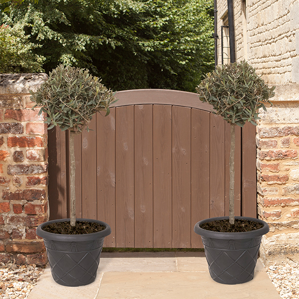 Pair of 90cm Olive Tree Standards with Tuscany Planters No Colour