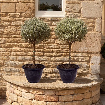 Pair of Standard Lavender intermedia with Pair of Silver Laurel Planters