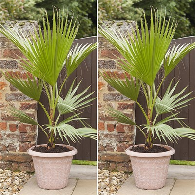 Washingtonia Cotton Palms 70-80cm Tall (Pair)