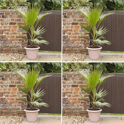 Washingtonia Cotton Palms 70-80cm Tall (4 Pack)