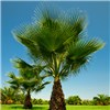 Set of 4 Washingtonia Cotton Palms 70-80cm Tall