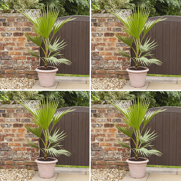 Set of 4 Washingtonia Cotton Palms 70-80cm Tall No Colour