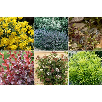 Evergreen Shrub Collection 9cm Pots (6 Pack)