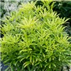 Evergreen Shrub Collection 6 x 9cm Pots