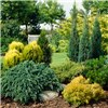 Evergreen Hardy Dwarf Conifer Collection 6 x 9cm Pots