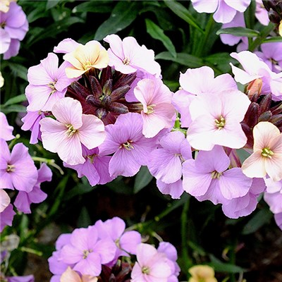 Erysimum Hardy Wallflower Summer Skies Mix 3 x 9cm Pots