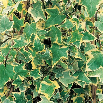 Trailing Variegated Ivy Collection 12 x Plants