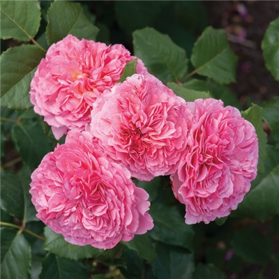 Old English Shrub Rose - Pink 3L