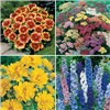 Cottage Garden Perennials 12 x Jumbo Plugs