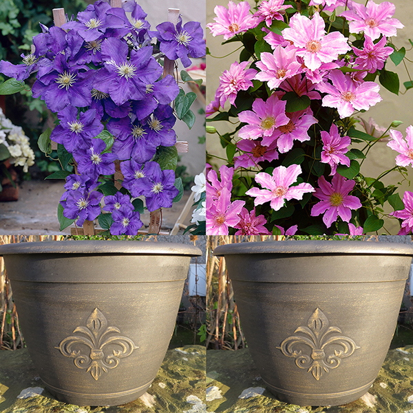 Complete Clematis Kit, Blue and Pink Clematis, Planters and Bamboo Trellis No Colour