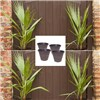 Set of 4 Washingtonia Cotton Palms 70-80cm Tall with Gold Pinecone Planters