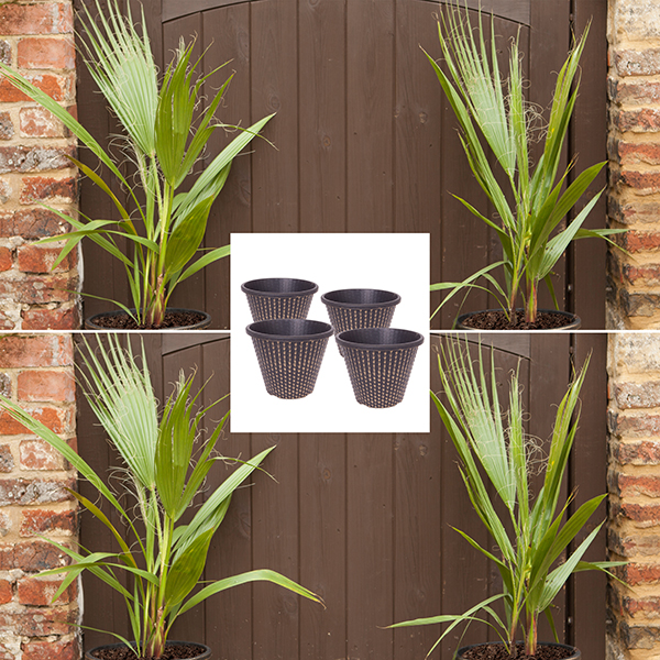 Set of 4 Washingtonia Cotton Palms 70-80cm Tall with Gold Pinecone Planters No Colour