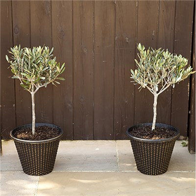 Pair of Mini Olive standards 55cm tall