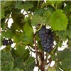 Grapevine (Marechal Foch) 20cm pot 80cm tall