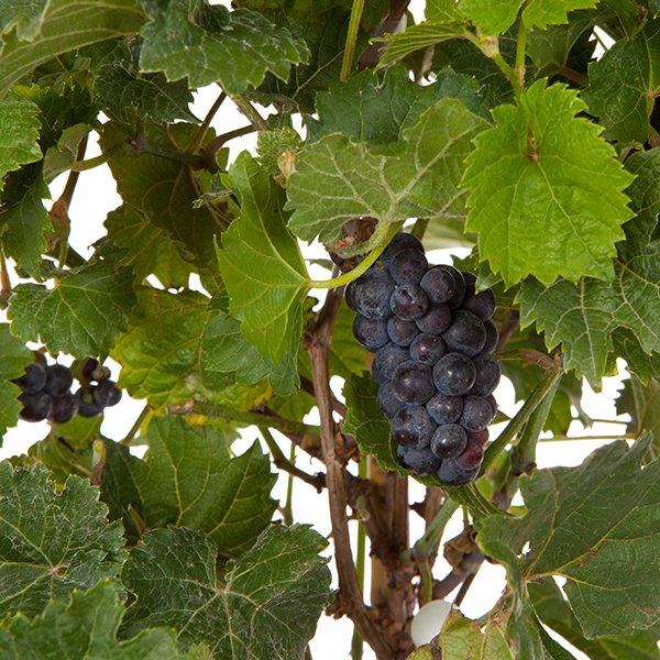 Grapevine (Marechal Foch) 20cm pot 80cm tall No Colour