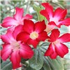 Adenium obesum 11cm pot (Rose of the Desert)