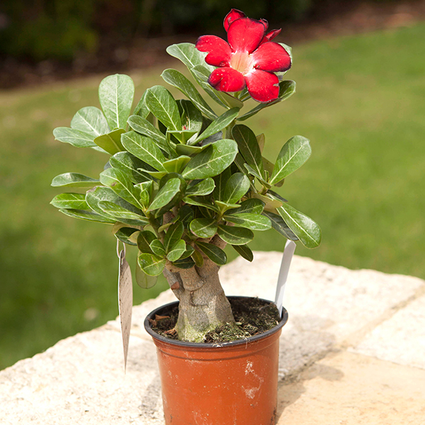 Adenium obesum 11cm pot (Rose of the Desert) No Colour