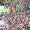 Pair Cordyline Red Star 80cm tall