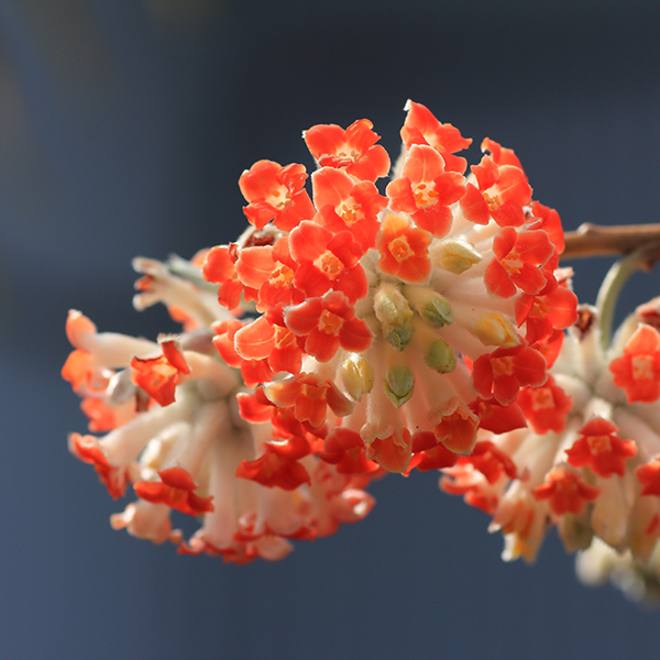 Hardy Fragrant Edgeworthia (Red Dragon) 13cm Pot No Colour