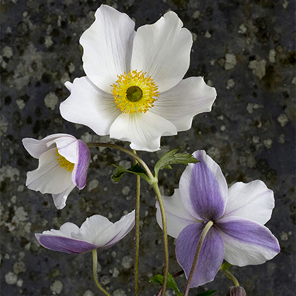 Anemone 'Wild Swan' 4L Pot No Colour