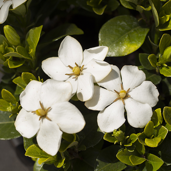 Hardy Gardenia Collection No Colour