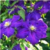 Pair of Large Flowered Hybrid Clematis in 2L Pots on 60cm Tripods