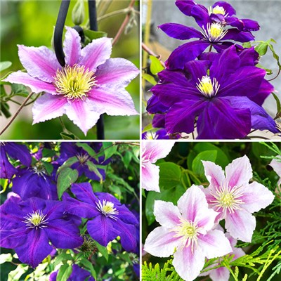 Set of 4 Large Flowered Hybrid Clematis in 2L Pots on 60cm Tripods