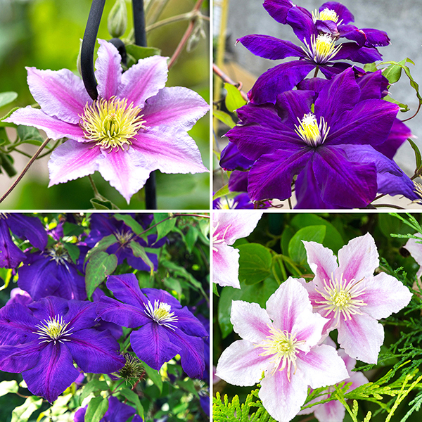 Set of 4 Large Flowered Hybrid Clematis in 2L Pots on 60cm Tripods No Colour