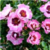 Pink Rose Babylon Eyes Half Standard 3L Pot