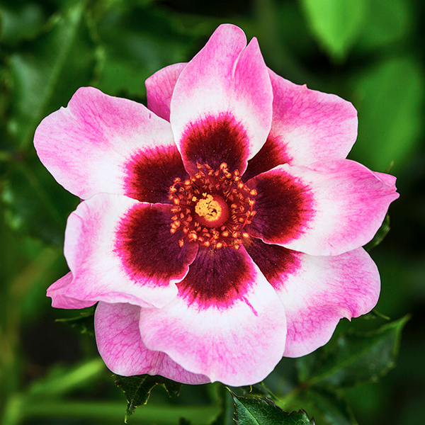 Pink Rose Babylon Eyes Half Standard 3L Pot No Colour