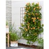 Patio Campsis Indian Summer 2L Pot 55cm Trellis