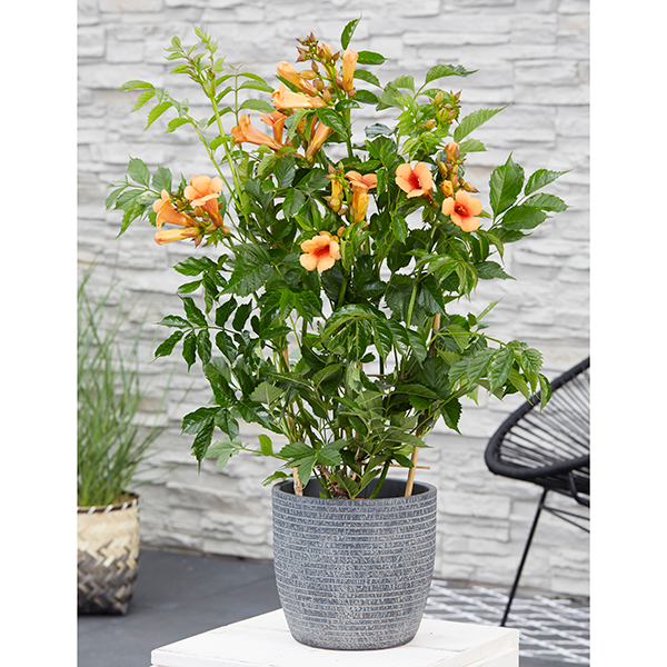 Patio Campsis Indian Summer 2L Pot 55cm Trellis No Colour