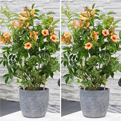 Pair of Patio Campsis Indian Summer 2L Pots on 55cm Canes