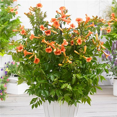Pair of Patio Campsis 'Indian Summer' 2L Pots on 55cm Canes