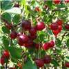 Compact Sweet Cherry Bush Porthos 3L