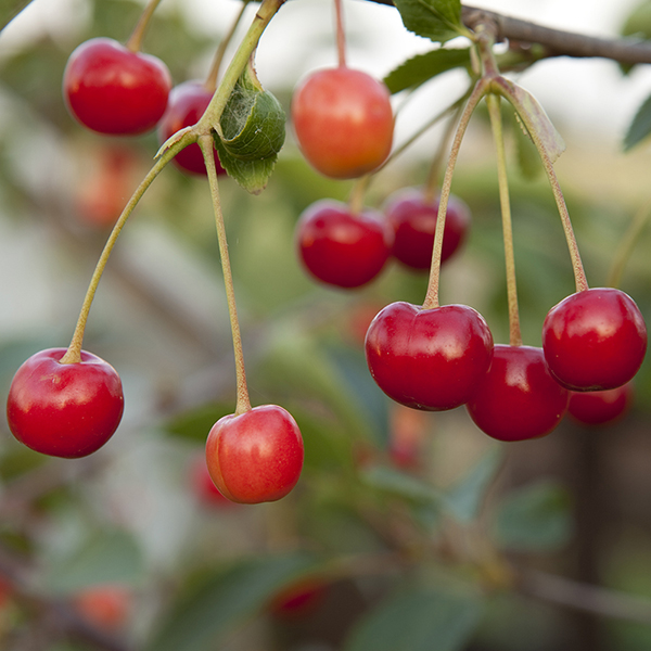 Cherry Bush 'Porthos' 3L Pot No Colour