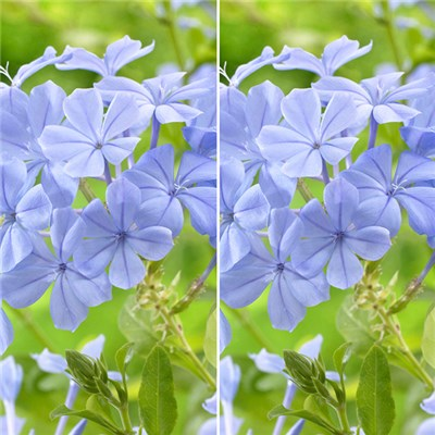 Pair of Blue Plumbago Plants in 2L Pots
