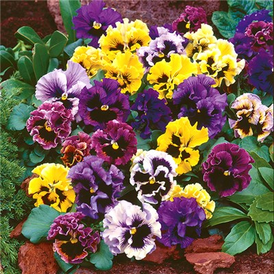 Pansy Frizzle Sizzle 20 Garden Ready Plants