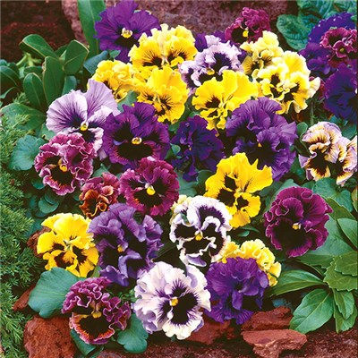 Pansy Frizzle Sizzle Garden Ready Plants (20 Pack)