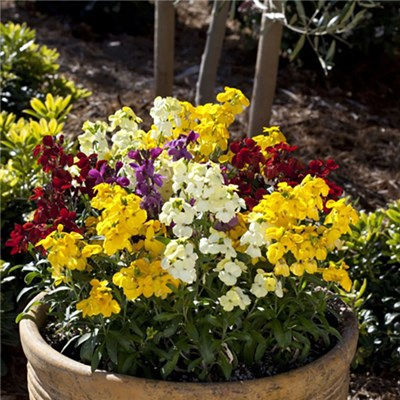 Wallflower Sugar Rush Mix 20 Garden Ready Plants