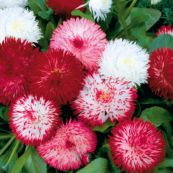 Bellis Habanera Mix Garden Ready Plants (20 Pack) No Colour
