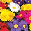 Polyanthus Crescendo Mix 20 garden ready plants