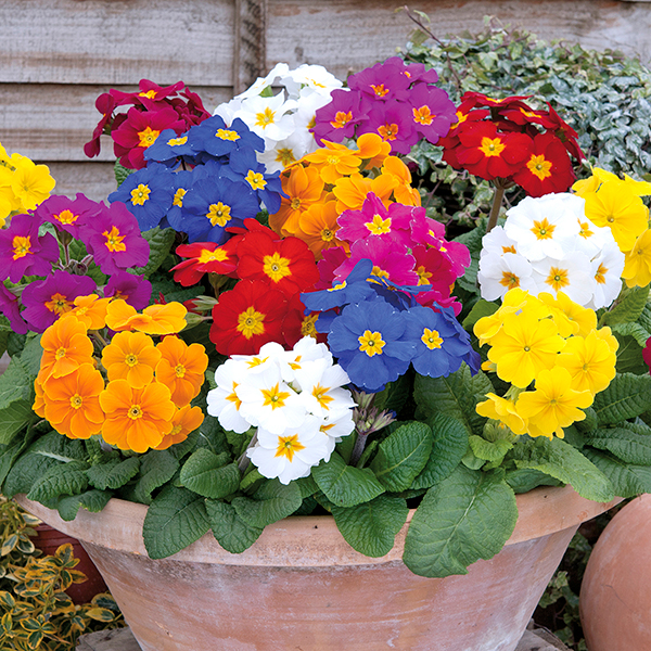 Polyanthus 'Crescendo' Mix Garden Ready Plants (20 Pack) No Colour