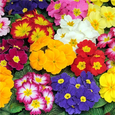 Early Primrose Bonelli Mixed 20 x Garden Ready Plants