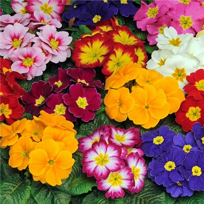 Early Primrose Bonelli Mixed Garden Ready Plants (20 Pack)