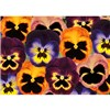 Pansy Matrix Mixed colours 20 Garden Ready Plants