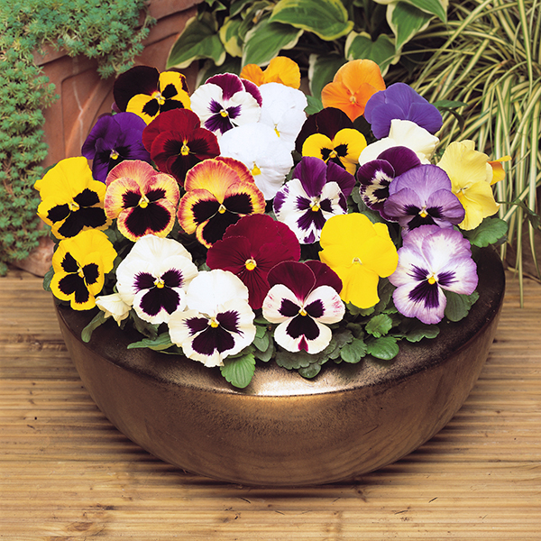 Pansy 'Matrix' Mix Garden Ready Plants (20 Pack) No Colour