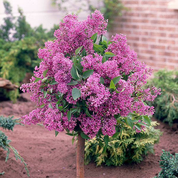 Hardy Lilac Standard Pink Perfume 3L Pot 80-100cm Tall No Colour