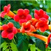 Pair of Campsis Trumpet Vines Red & Yellow 2L Pots on 55cm Canes